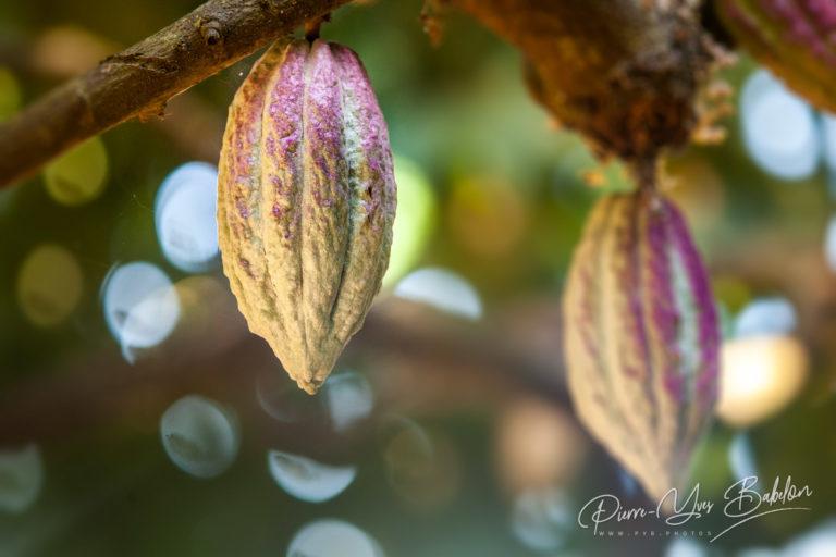 Cacao de Madagascar