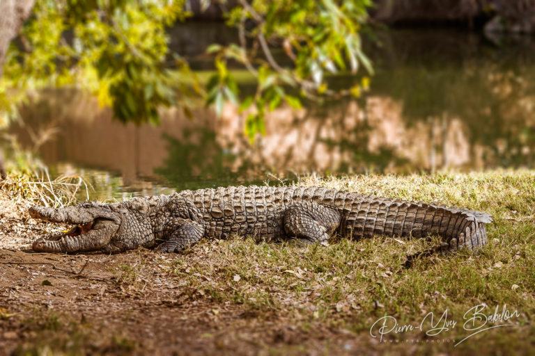 Nile crocodile of Madagascar