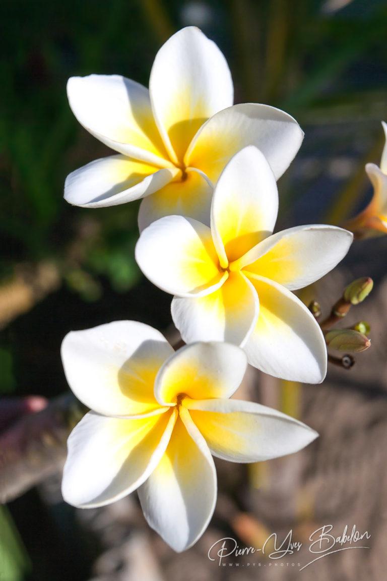 Frangipani flowers (plumeria)