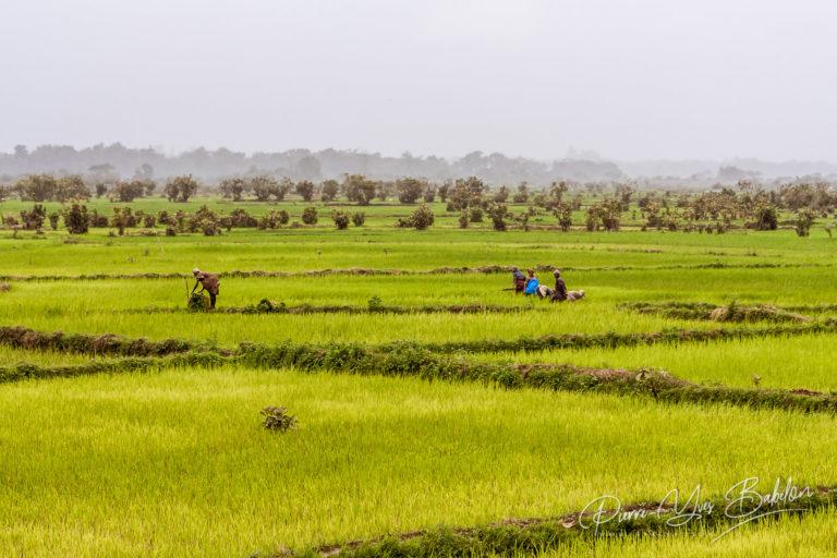 Agriculteurs malgaches dans une rizière dans une rizière de l'est de Madagascar