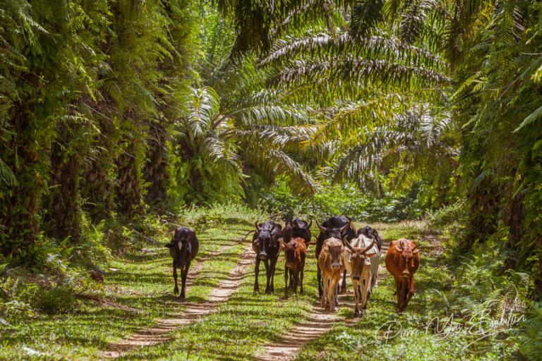 Herd of zebus