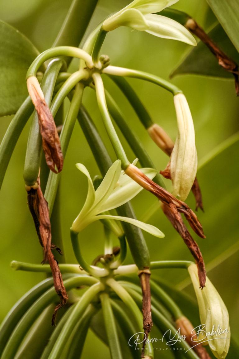 Flowers of Bourbon vanilla