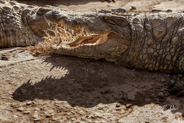 Nile crocodiles of Madagascar