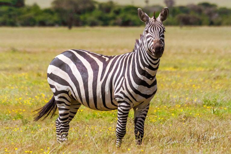 African plains zebras