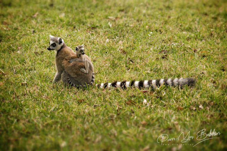 Mom and child Lemurs Catta
