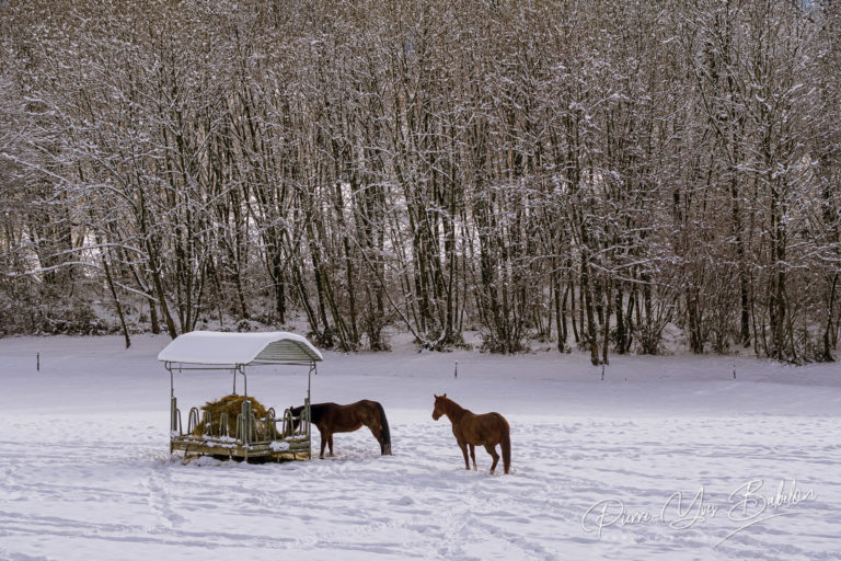 Horses in the snowy paddock