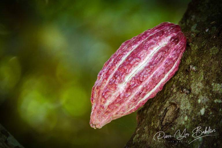 Cocoa pod